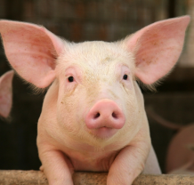happy-pig-bio-fyramata-Skou